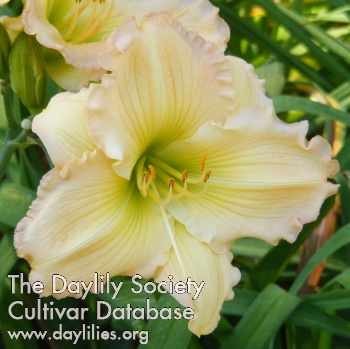 Daylily Photo - Stop The Show