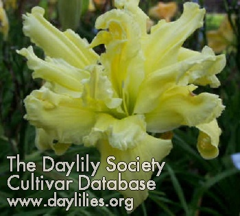 Daylily Photo - Sunglasses Needed