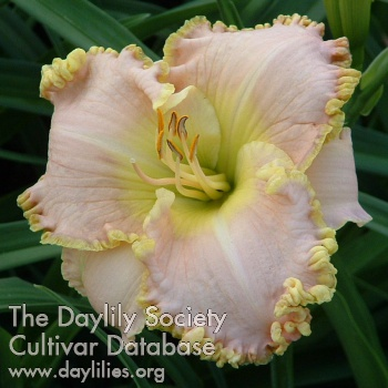 Daylily Photo - Sweet Tranquility
