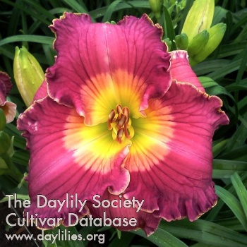 Daylily Photo - Smile for Me Phyllis