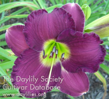 Daylily Photo - Solomons Robes