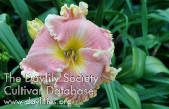 Daylily Photo - Sugar Lips