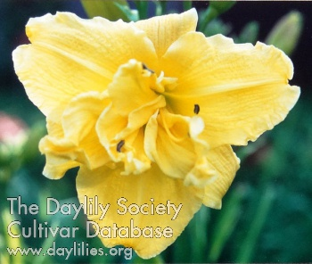 Daylily Photo - Super Double Delight