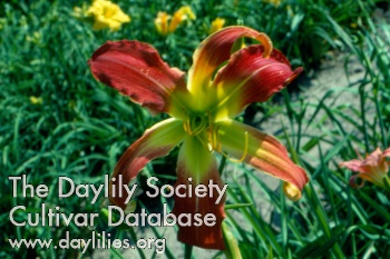 Daylily Photo - Swirling Spider