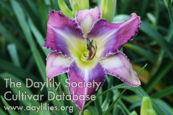 Daylily Photo - Temples and Towers