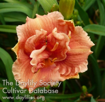 Daylily Photo - Tropical Delight