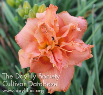 Daylily Photo - Twisted Whiskers