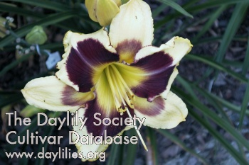 Daylily Photo - Tar And Feather