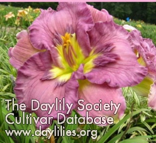 Daylily Photo - Texas Feathered Fancy