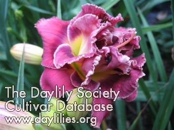 Daylily Photo - Thanks For Last Night