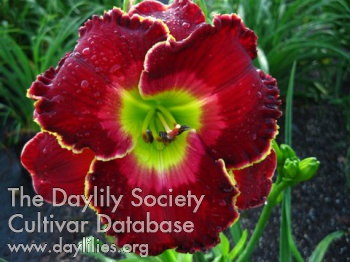 Daylily Photo - The Blessing of Freedom