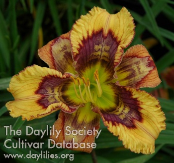 Daylily Photo - The One Ring