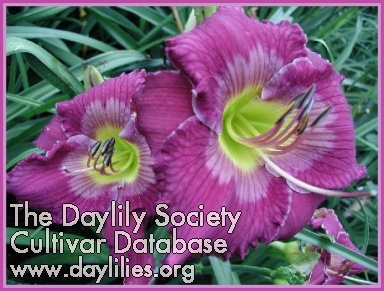 Daylily Photo - The King Is Coming