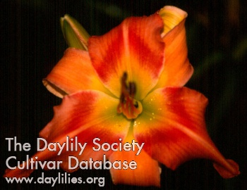 Daylily Photo - The Wonderful Thing About Tigers