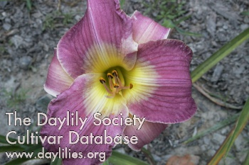 Daylily Photo - Thebes