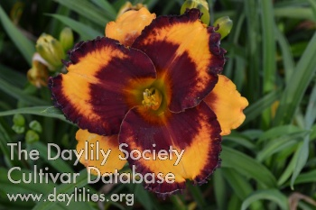 Daylily Photo - To Be or Not to Be