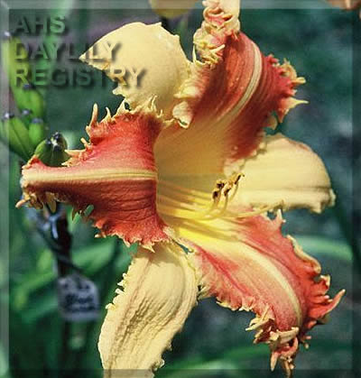 Daylily Photo - Tooth and Nail