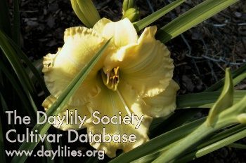 Daylily Photo - Top Show Off