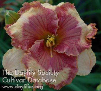 Daylily Photo - Tropical Shade