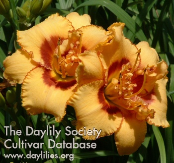 Daylily Photo - Two Part Harmony