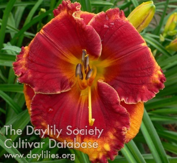 Daylily Photo - The Carpenter's Heart