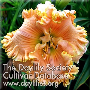 Daylily Photo - Tropical Hot Flash
