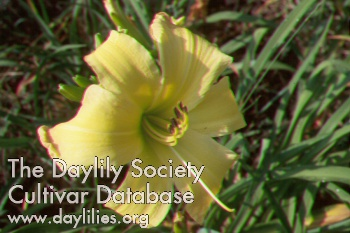 Daylily Photo - Valley Monster