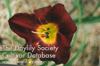 Daylily Photo - Vino Di Notte