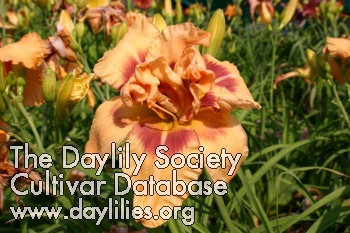 Daylily Photo - Whistle Blower