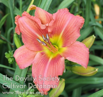 Daylily Photo - Wishy Washy