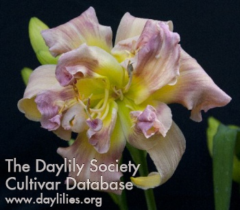 Daylily Photo - Wysiwyg