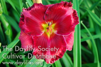 Daylily Photo - Walter Kennedy
