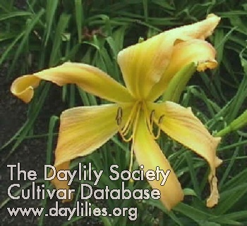 Daylily Photo - Waltz With The Wind