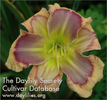 Daylily Photo - Warrior's Quest
