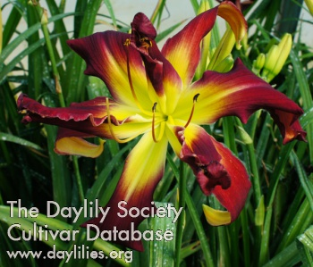 Daylily Photo - Webster's Double Wonder