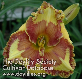 Daylily Photo - Western Shore