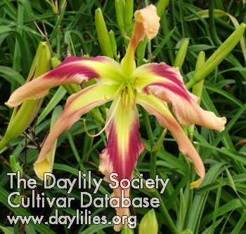 Daylily Photo - Whammer Jammer