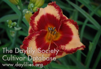 Daylily Photo - What Fun