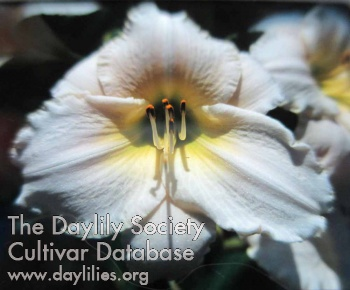 Daylily Photo - White Perfection