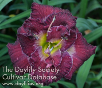 Daylily Photo - Windsor Lane