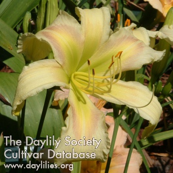 Daylily Photo - Wiregrass Greenstar