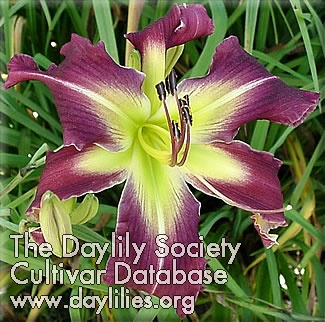Daylily Photo - Witch's Stick