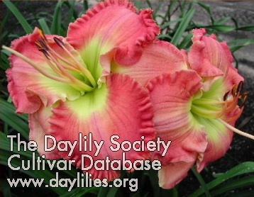 Daylily Photo - Worth It All