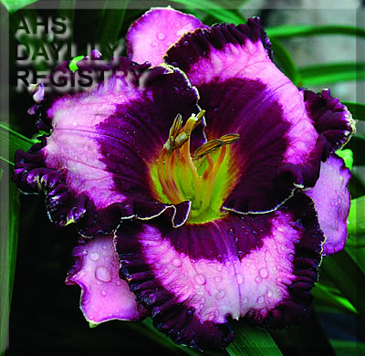Daylily Photo - Written on the Wind