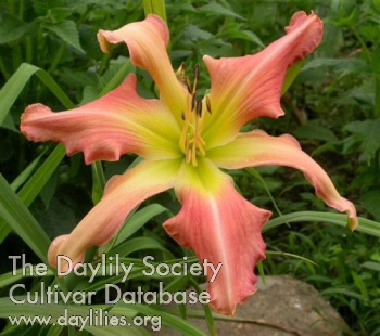 Daylily Photo - Webster's Pink Wonder