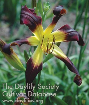 Daylily Photo - Wild And Free