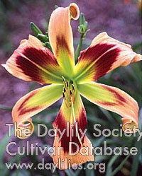 Daylily Photo - Wild and Wonderful