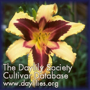 Daylily Photo - Wild Horses