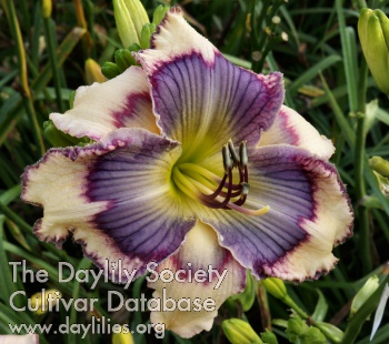 Daylily Photo - Yoga Man
