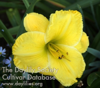 Daylily Photo - Yellow Moonlight